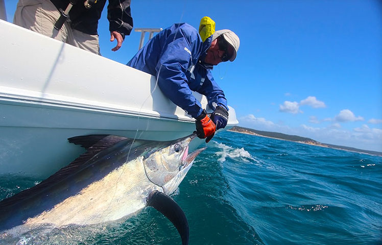 bringing in a mac tuna hervey bay qld - hervey bay fly and sportfishing charters